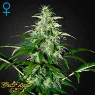 Green house Seeds Kalashnikova AUTO