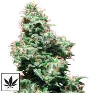 White Label Seeds Kali Haze
