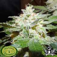 Karma Genetics Seeds Ghostrider V2.0