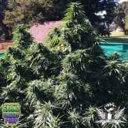 GrandDaddy Purple Seeds Ken's Honeydew
