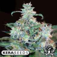 Kera Seeds Crazy Mouse AKA Amsterdam Cheese
