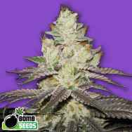 Bomb Seeds Killer Purps