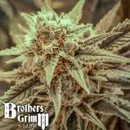 Brothers Grimm Seeds Killer Queen