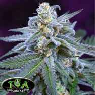 TGA Subcool Seeds Killer Grape