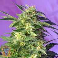 Sweet Seeds AUTO Killer Kush