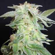 Seedism Seeds King Kush