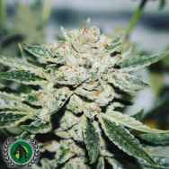 DarkHorse Genetics Seeds Kings Banner XIII