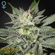 Green House Seeds King's Kush CBD