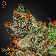Green House Seeds King's Kush