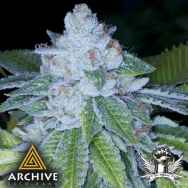 Archive Seeds KirkWood OG