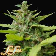 Samsara Seeds Kiss Dragon