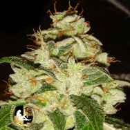Lady Sativa Genetics Seeds KnightsBridge OG