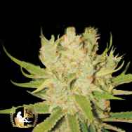 Lady Sativa Genetics Seeds KnightsBridge OG Haze