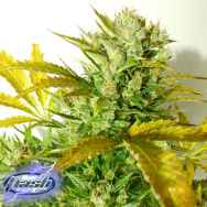 Flash Autoflowering Seeds Kush Van Stich