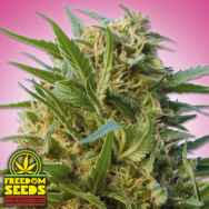 Freedom Seeds Kush #6