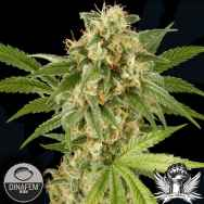 Dinafem Seeds Kush'N'Cheese
