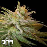 DNA Genetics Seeds Kushberry