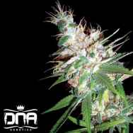 DNA Genetics Seeds LA Woman
