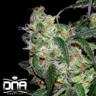 DNA Genetics Seeds La Cannalope AKA Cannadential