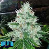 SinCity Seeds Las Vegas Sour Bubba