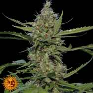 Barneys Farm Seeds Laughing Buddha