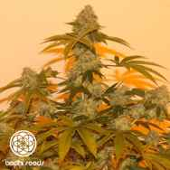 Bodhi Seeds Lazy Lightning