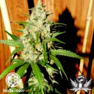Bodhi Seeds Lemon Zinger