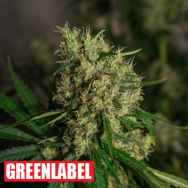 Green Label Seeds Lemon Bud
