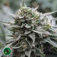 DarkHorse Genetics Seeds Lemon Head