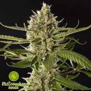 Philosopher Seeds Lemon OG Candy