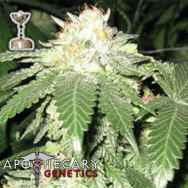 Apothecary Genetics Seeds Lemon OG