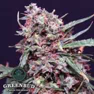 Greenbud Seeds Lemon Pie AUTO