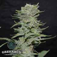 Greenbud Seeds Lemon Pie