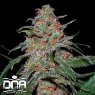 DNA Genetics Seeds Lemon Skunk
