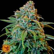 Barneys Farm Seeds Liberty Haze
