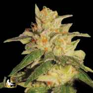 Lady Sativa Genetics Seeds London City Diesel