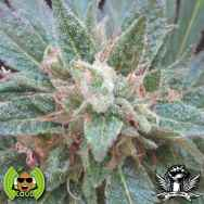 Loud Seeds AJ's Sour Diesel