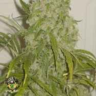 Reeferman Seeds Love Potion 1.1(Next Generation)