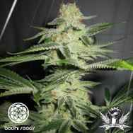 Bodhi Seeds Lucky Charms