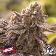 Moxie Seeds Lucky No Sleven