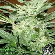 Mdanzig Seeds Blue Streak #2