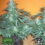 Mdanzig Seeds Sour60 Automatic