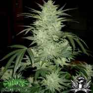 Mdanzig Seeds The Qwixter