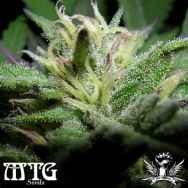 MTG Seeds Orange Creamsicle