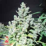 Medical Seeds Malakoff
