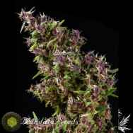 Mandala Seeds Purple Paro Valley