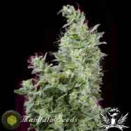 Mandala Seeds White Magic