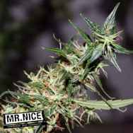 Mr Nice Seeds Mango Haze