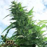 Green Devil Seeds Margoot