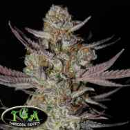 TGA Subcool Seeds Marionberry Kush